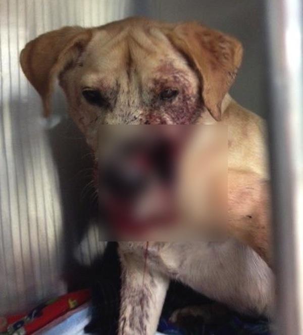 Detroit: cane si fa sparare in faccia per proteggere la sua padrona. È vivo