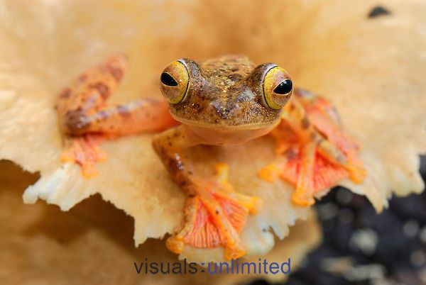 Harlequin Flying Tree Frog (Rhacophorus pardalis), Danum Valley Conservation Area, Sabah, Borneo, Malaysia