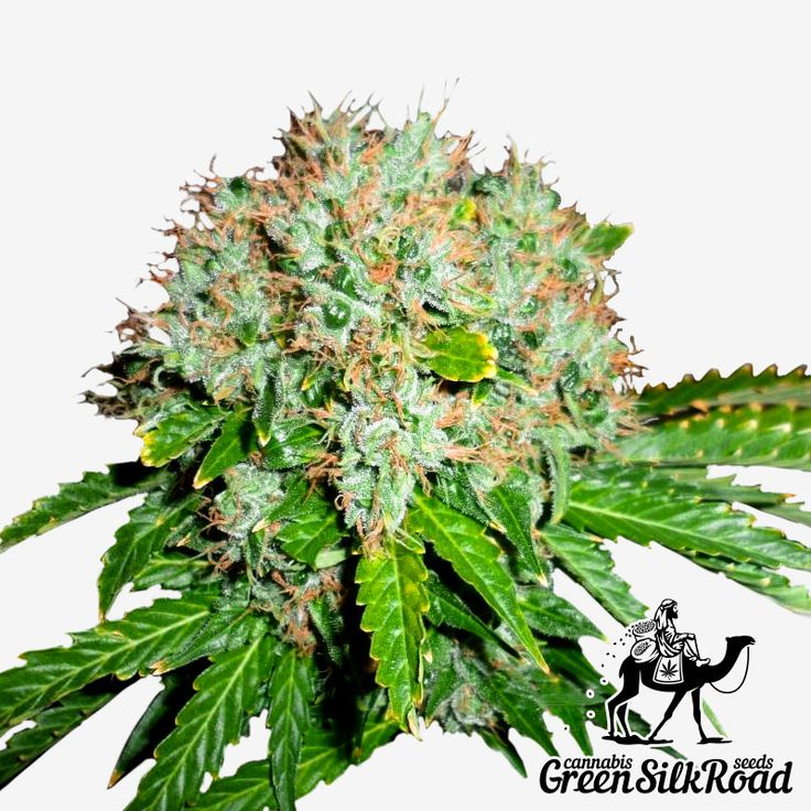 White Widow Feminised is a strain that does not cause any problems even to an inexperienced grower. The plants reach a maximum of 130 cm, making it a perfect choice for all types of cultivation. The outstanding commercial potential of this strain provides from 400 to 500 g of high-quality stuff per 1 m². Its powerful sedation effect is caused by the high THC content (reaching 19%). The hybrid has a delicious, sweet citrus aroma.