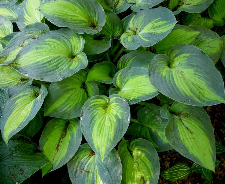 Fragrant Bouquet' is the 1998 Hosta of the Year and has fragrant flowers. Description from carolynsshadegardens.com. I searched for this on bing.com/images