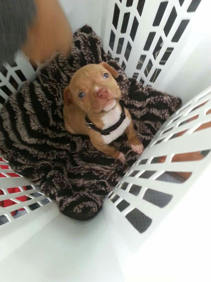My friend just got this puppy for her kids. It's a pitbull - chihuahua mix! Isn't he the cutest thing!?