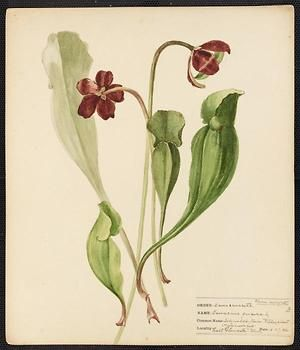 From the collection at Andersen Horticultural Library. Agnes Williams (1860-1946), a watercolorist from Bucks Co., PA, created a wildflower portfolio during the 1880s and 1890s. Emma painted Sarracenia purpurea (Pitcher Plant) in East Gloucester, MA. It is dated June 27, 1884.