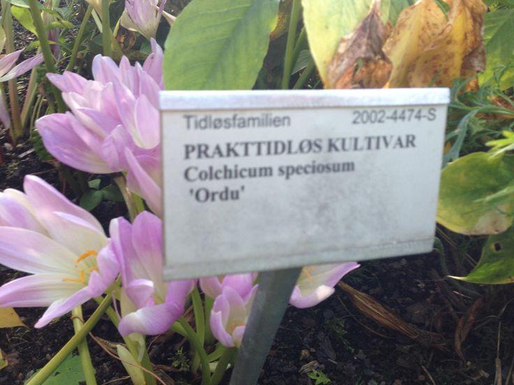 Prakttidløs kultivar - colchicum speciosum