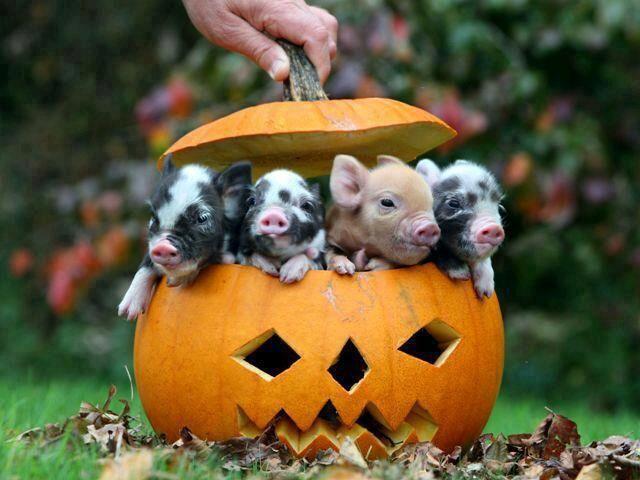 A pumpkin full of piglets-awwww
