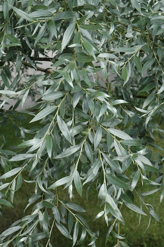 Silver Willow (Salix alba 'Sericea') foliage Hardy Zone 2a: full sun: H: 50ft W: 50ft