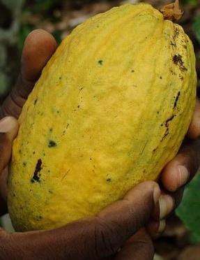 Cacao, Árbol del Cacao