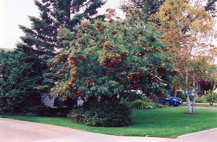 Mountain Ash Tree In Minnesota Mountain Ash Sorbus
