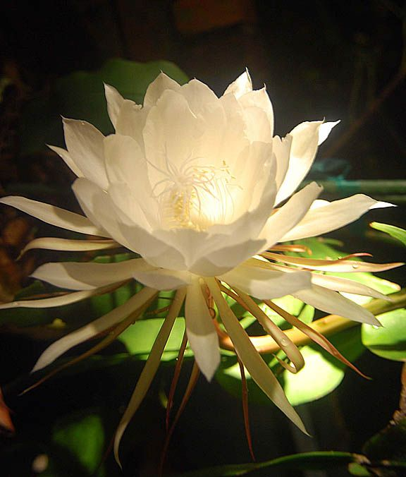 Sometimes called 'the most beautiful flower in the world,' the night-blooming cereus, a cactus flower.  Blooming only once at night, each flower lasts only until sunrise.