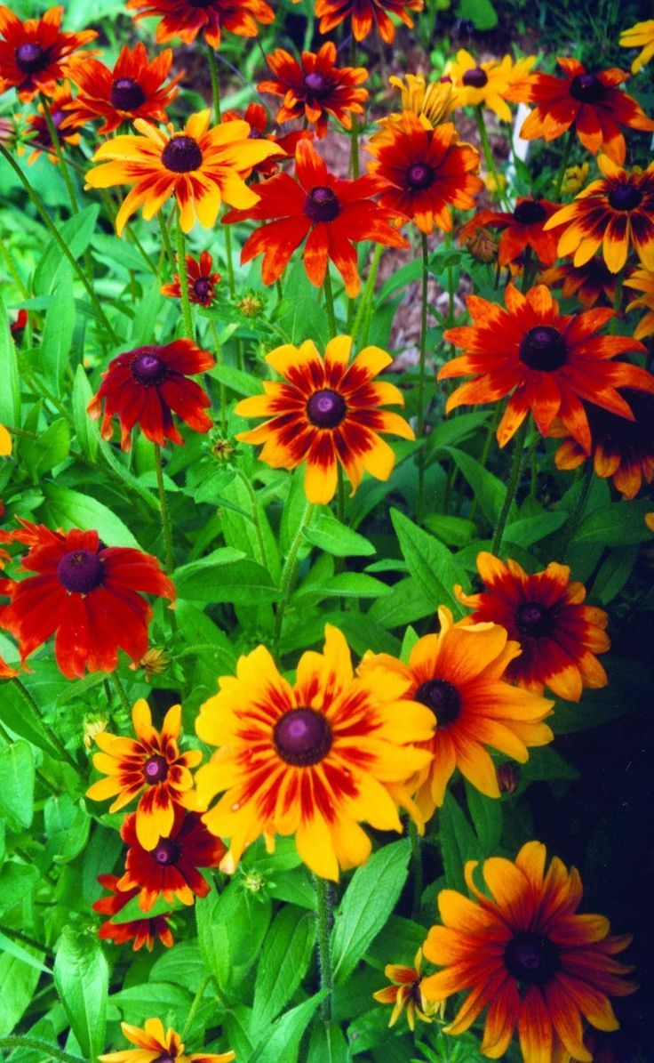 """3"""" flowers on 2' plants. Colors range from yellow and orange to brown and mahogany as well as mixes. They make a very dramatic backdrop in burnished, autumnal tones. No two are alike. They are very us"""