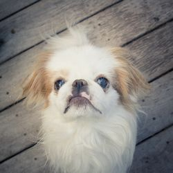 Please adopt this sweet little boy!!!!  Louie is an adoptable Japanese Chin Dog in San Francisco, CA. You can fill out an adoption application online on our official website. This beautiful 7 year-old purebred Japanese Chin was being sold a...