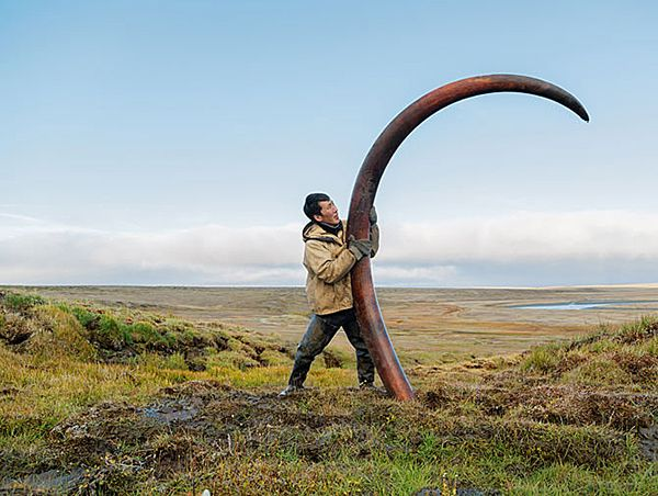Siberia, mammoth tusk in the tundra..article is in Italian but I know what they're talking about!