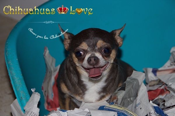 Chihuahuas Love - ¿Escarba Tu Chihuahua? La Actividad de Los Perros Chihuahua.