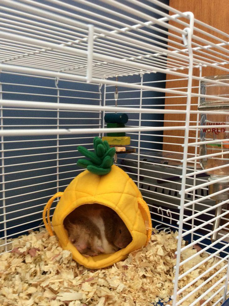 Nibbles sleeping in hims pineapple.