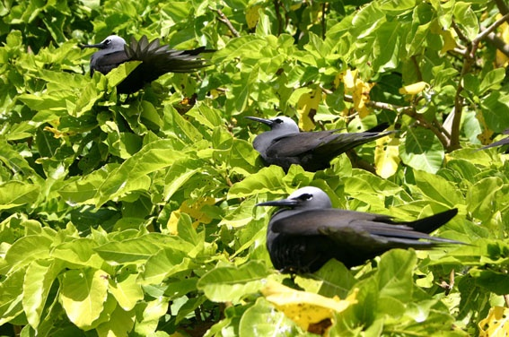 Birds from Lady Musgrave Island - Australia