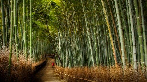 Magické miesto: bambusový les Sagano. Na západnom okraji japonského mesta Kjóto je oblasť Arashiyama vyhľadávanou turistickou štvrťou. V tejto oblasti sa nachádza slávny bambusový les Sagano. Je tu pešia cesta, ktorá sa zvažuje celým bambusovým hájom. Keď svieti slnko, veje jemný vánok a stromy sa v ňom jemne hojdajú, krajina okolo je dokonale malebná. Hotová meditácia.