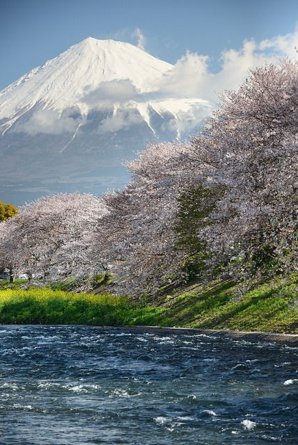 Mt. Fuji with cherry trees, Japan