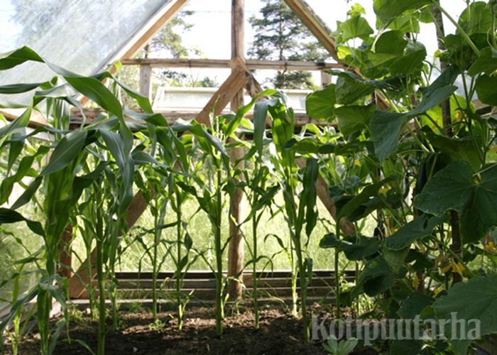 Mikään ei palkitse niin kuin komeat silmissä kohisten kasvavat syötävät kasvihuoneessa. www.kotipuutarha.fi