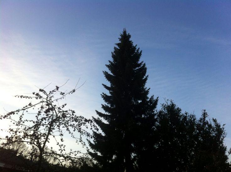Boom in onze tuin. Conifeer van 16 meter, 29 jaar oud.