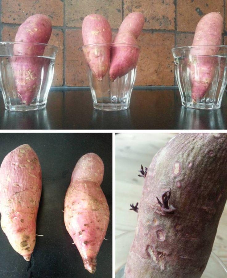 Dag 65/365: Zoete aardappels kweken