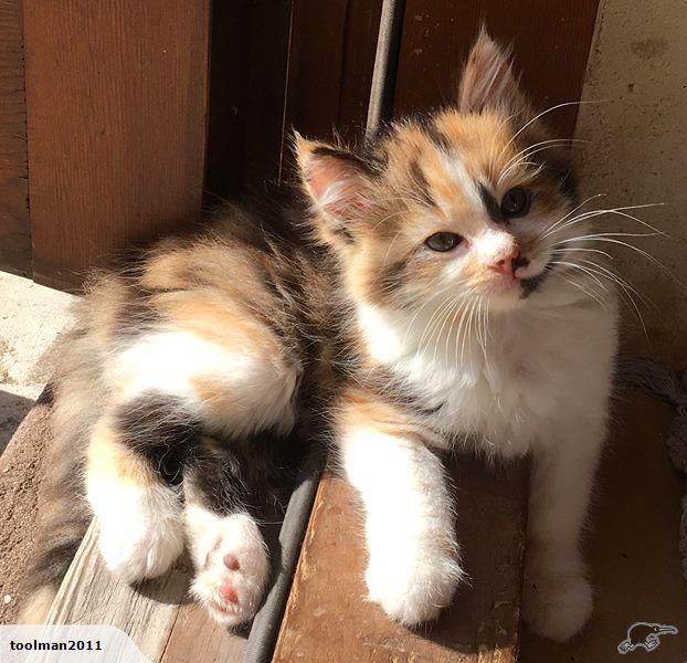 Gorgeous Ragdoll X kittens.