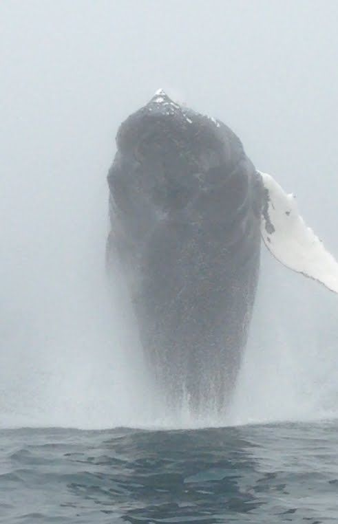 A whale of a time - Humpback whale breaching the surface of the Bay of Fundy