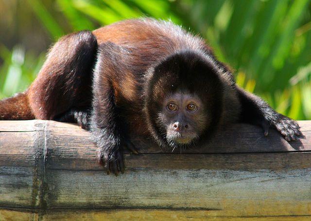 monkey at monkeyland in garden route