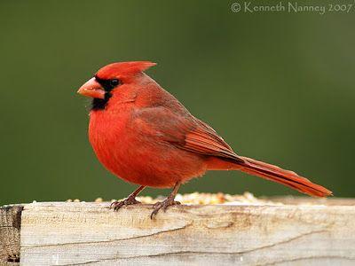 Northern Cardinal - North-Central Texas Birds