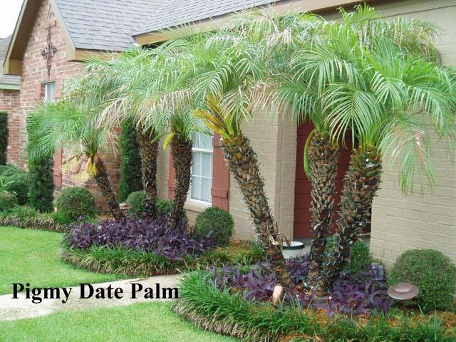 pygmy date palms - very hardy, plant in back so they get morning sun, not afternoon sun.