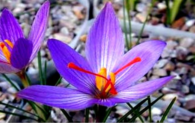 Mountain saffron - We will meet in the high mountains of Crete outside the prefecture of Chania. Ancestor of yew yolk color with purple flowers.