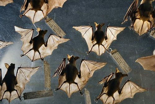 Okay, I think these are real bats, but it just gave me an awesome idea for doing a paper clay bat w/ tissue and mod podged wings.