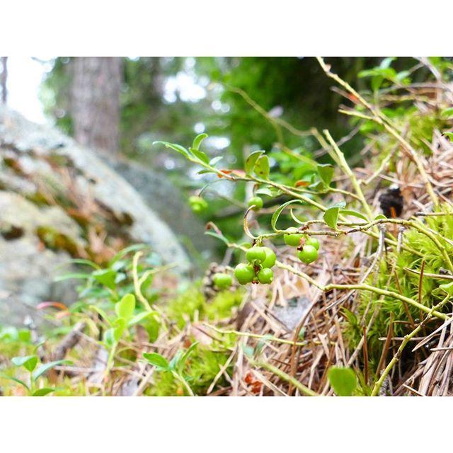【ori_yukie】さんのInstagramをピンしています。 《#コケモモ 、熟すのはキノコの季節になったころ。毎年摘んで、ジャムにして、#スウェーデン 風#ミートボール につけて食べています  #lingon Första gången som jag åt svensk köttbullar var det för 7 år sedan.  I början tyckte jag att det var konstigt, men nu gillar jag mycket  #stockholm #sweden  #lingonberry #nature #naturprodukt #skog #forest #berries #リンゴンベリー #スウェーデン #ストックホルム #森 #自然 #緑 #森林浴》