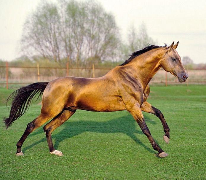 Akhal teke stallion, Tyllagush 2nd.