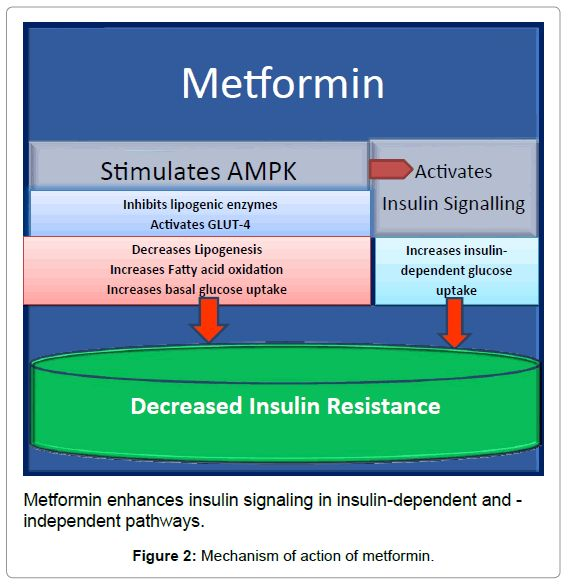 Image result for metformin mechanism of action