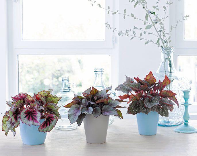 Trio gagnants begonia belaef et cache pots color - Plante d interieur ikea ...