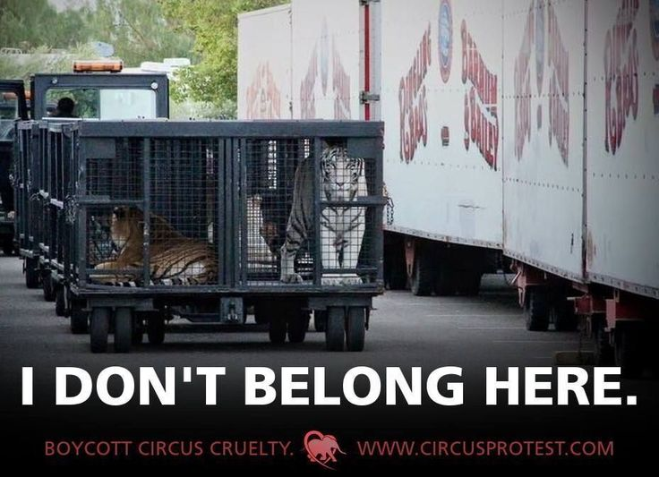 CompassionWorks Intl @CWIntl    Tigers do NOT belong in the circus.     Help us continue our fight for their freedom: http://buff.ly/2jzSjj3      #EmptyTheCages