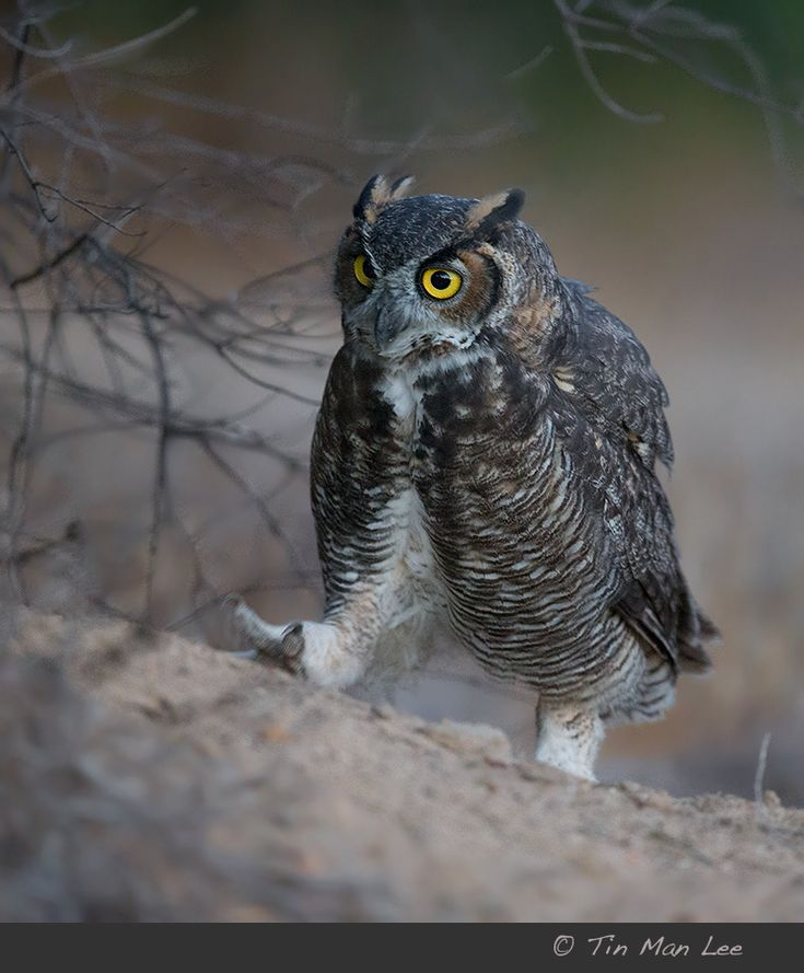 The gigantic great horned owl was walking around hunting in a wildlife refuge just right outside I-405 and 101 freeways.