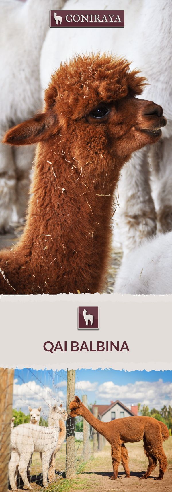 Meet Coniraya - QAI balbina. This Alpaca was born in 2014 and its fiber is in color: Brown. Check out more details on our site!