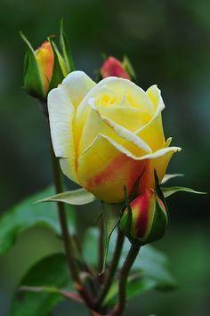 pinear y repinear, las rosas amarillas traen suerte en la vida...