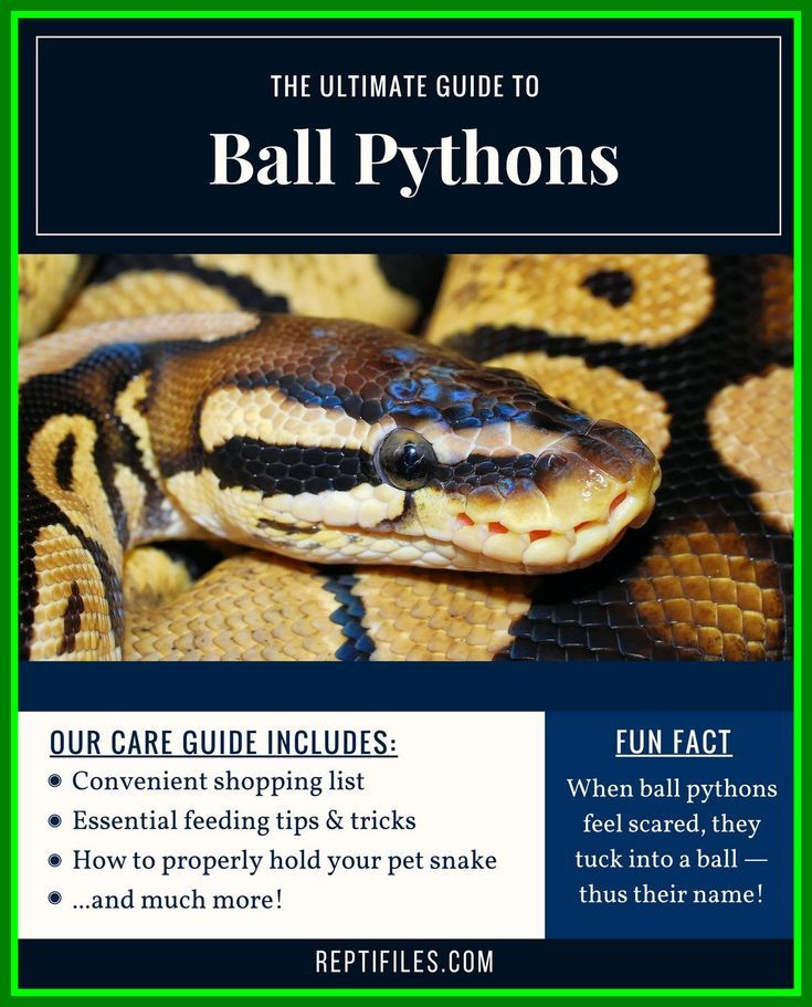 Types Of Pet Snakes Pet Snakes The Best Ball Pythons Are Very Popular In Pet Pet Snake Ball Python Care Ball Python