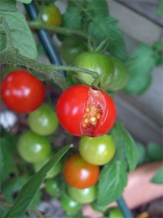 What Causes Tomatoes to Crack and How to Prevent It