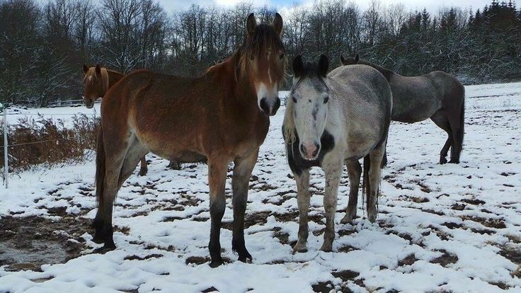 BFF's Nougat and Senna together enjoying the snow!! Senna is always watching over Nougat in the herd.. Soo sweet ❤️ #Nougat #vanHaflonie #horse #Haflo #Mare