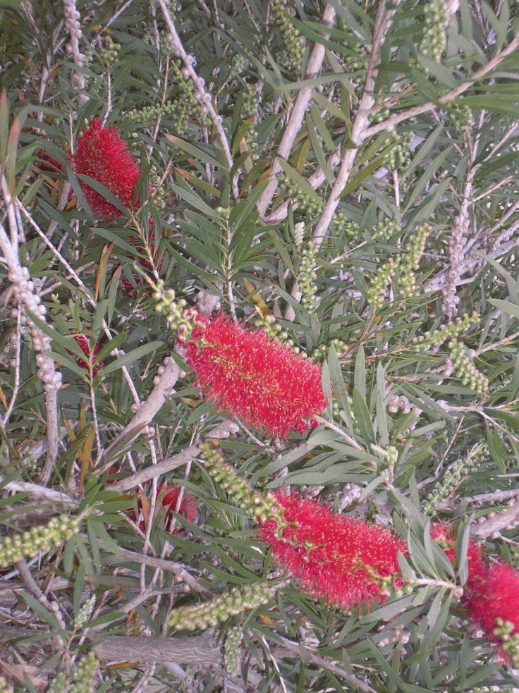 Look closely and you will see why they are called 'bottlebrush'