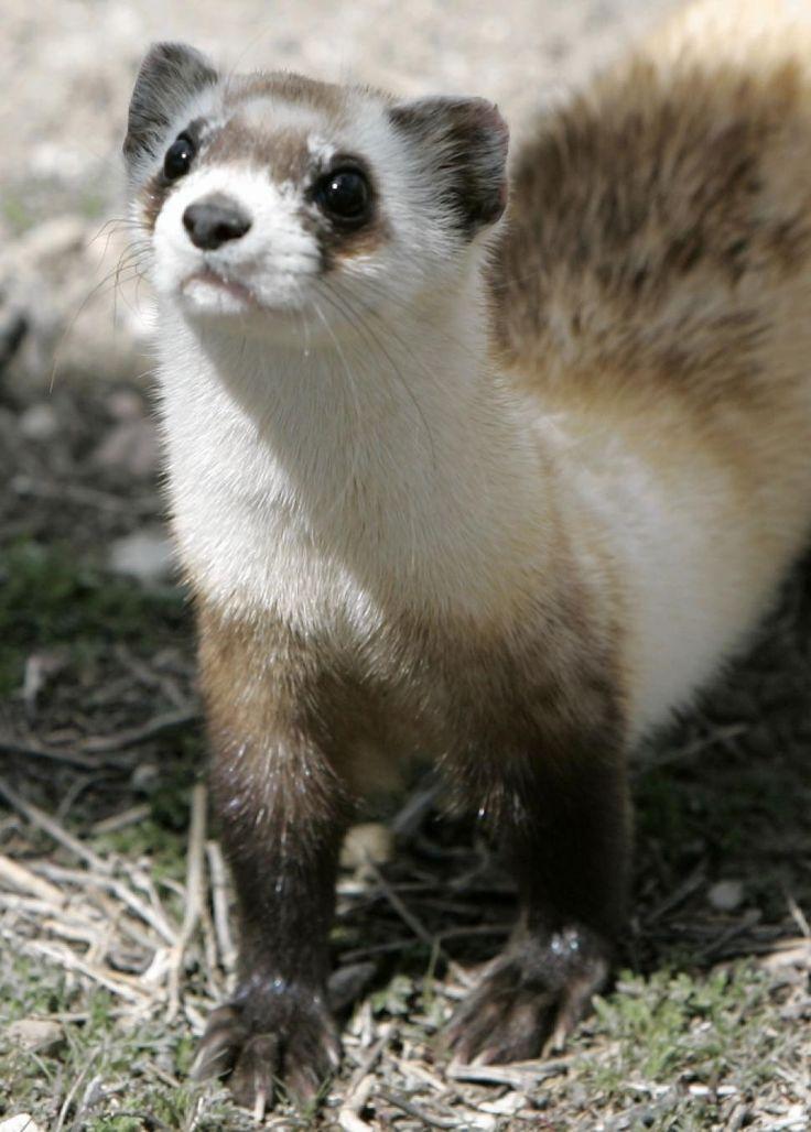15 best Endangered images on Pinterest | Ferrets, Ferret and Animal ...