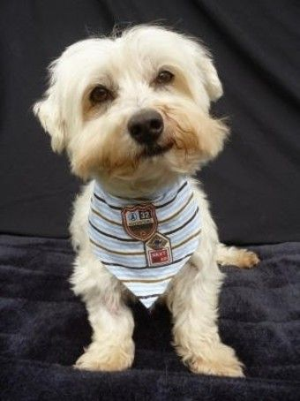 Paddy Small Male Maltese Mix, 8 years old, NSW dog