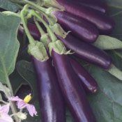 Show product details for Hansel Eggplant Plant