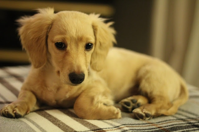 Blondie.  Zeus. English cream long-haired miniature dachshund