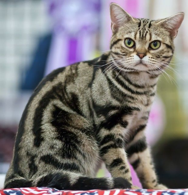 American Shorthair Cat Breed #cats #catbreeds #americanshorthaircat (Article from www.MetaphoricalPlatypus.com; American Shorthair Cat Photo by Heikki Siltala, catza.net)