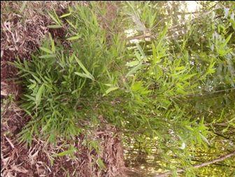 Fargesia nitida ´Black Pearl´mladá rostlina