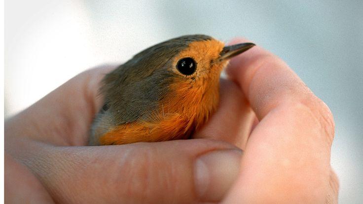 Linnut ovat munivia selkärankaisia, joilla on höyhenpeitteinen keho. Valtaosa linnuista kykenee lentämään siivillään. Nokkaansa linnut käyttävät muun muassa syömiseen, pesäntekoon ja puolustautumiseen. Tunnistatko sinä tuttuja lintuja, entä eri lintulajien lauluja?