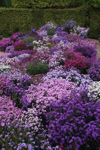 Clay tolerant: lovely Asters (for the garden)